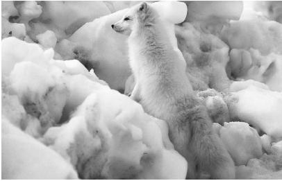 Arctic Animal Pictures on The Arctic Tundra  Competition Is Low  But Creatures Like This Arctic