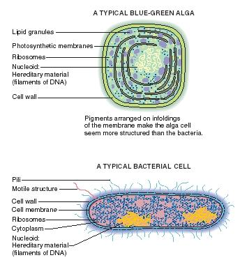 The difference between an alga cell and a bacterial cell. (Reproduced by permission of The Gale Group.)