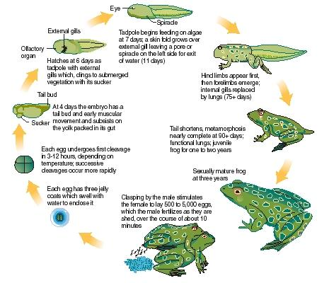 The life cycle of frogs. (Reproduced by permission of The Gale Group.)