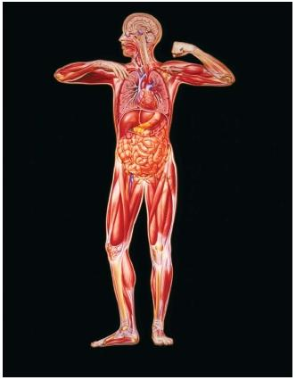 organs of human body. of human body anatomy,