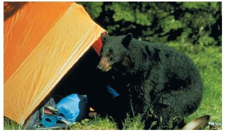 The black bear, one of the most recognizable animals in America, at a Minnesota campsite. (Reproduced by permission of the U.S. Fish and Wildlife Service.)