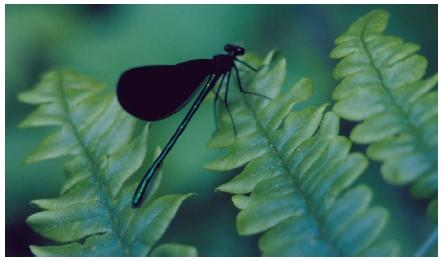 A male black-winged damselfly. (Reproduced by permission of Field Mark Publications.)