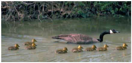 A Canadian goose with her goslings in the Ottawa National Wildlife Refuge in Ohio. (Reproduced by permission of Field Mark Publications.)