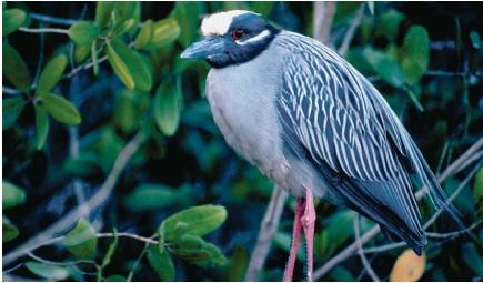 A yellow-crowned night heron at the Ding Darling National Wildlife Refuge in Florida. (Reproduced by permission of Field Mark Publications.)