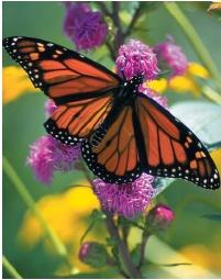 A Monarch butterfly. (Reproduced by permission of Field Mark Publications.)