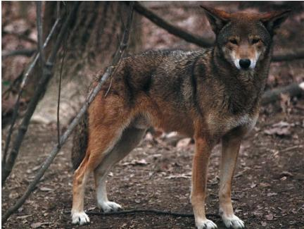The endangered red wolf. (Reproduced by permission of Photo Researchers, Inc.)