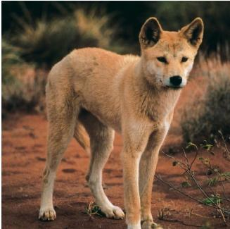 Dingoes are wild dogs that originally lived in Australia. (Reproduced by permission of Photo Researchers, Inc.)