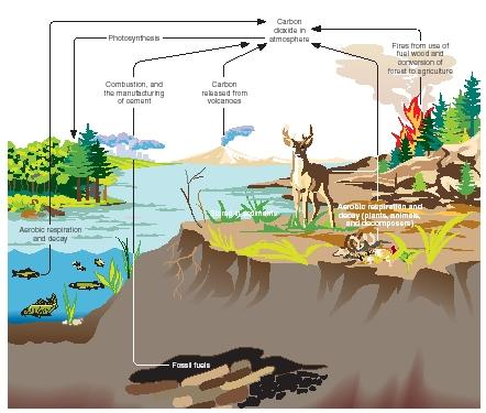 The carbon cycle. (Reproduced by permission of The Gale Group.)