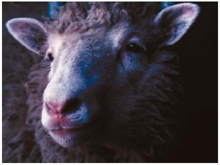 Dolly, Ian Wilmut's sheep clone, at eight months old. (Reproduced by permission of Photo Researchers, Inc.)