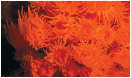 Brightly colored orange cup coral found in western Mexico. (Reproduced by permission of JLM Visuals.)