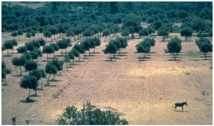 An orchard of olive trees in the Aegean coast of Turkey. (Reproduced by permission of JLM Visuals.)