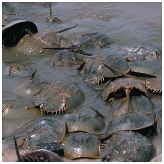 Horseshoe crabs come ashore for annual mating and nesting in Delaware Bay. (Reproduced by permission of The Stock Market.)