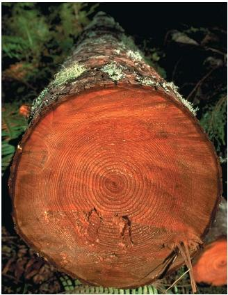 Dendrochronology is a dating technique that makes use of tree growth rings. (Reproduced by permission of The Stock Market.)
