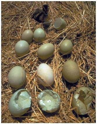 Clutch of mallard eggs contaminated by DDT. The accumulation of DDT in many birds causes reproductive difficulties. Eggs have thinner shells that break easily, and some eggs may not hatch at all. (Reproduced by permisson of the National Geographic Image Collection.)
