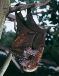 "A golden-capped fruit bat. Bats use echolocation to ""see"" in the dark. (Reproduced by permission of Daniel Heuclin, BIOS.)"