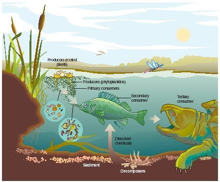 A freshwater ecosystem. (Reproduced by permission of The Gale Group.)