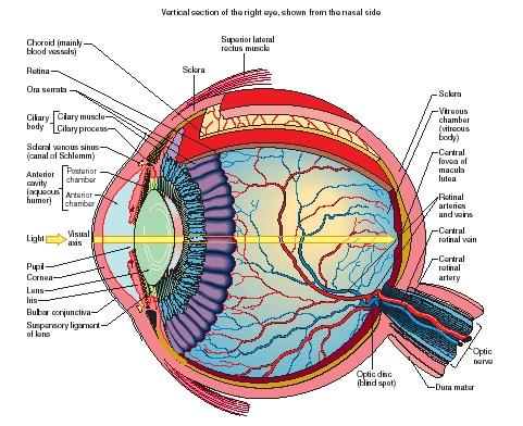 A cutaway anatomy of the human eye. (Reproduced by permission of The Gale Group.)