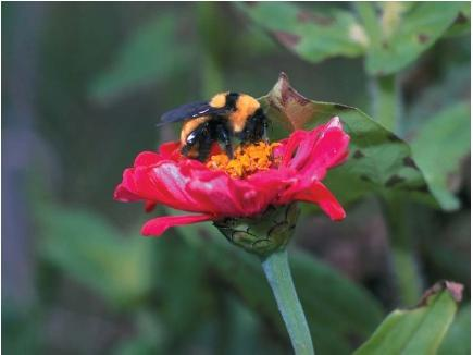 A bumblebee pollinating a flower. (Reproduced by permission of Field Mark Publications.)