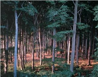 A forest of tall deciduous trees. (Reproduced by permission of The Stock Market.)