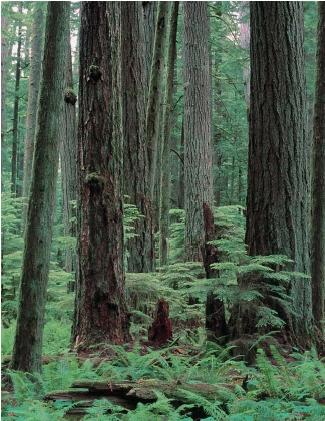 An old-growth Douglas-fir forest in the Pacific Northwest. (Reproduced by permission of Photo Researchers, Inc.)