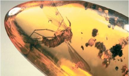 A mosquito in amber, 35 million years old. (Reproduced by permission of JLM Visuals.)