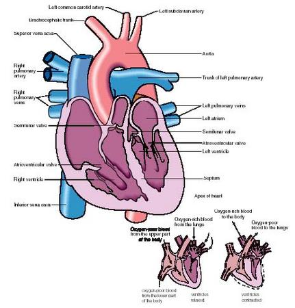 A cutaway view of the anatomy of the heart (top) and a diagram showing blood