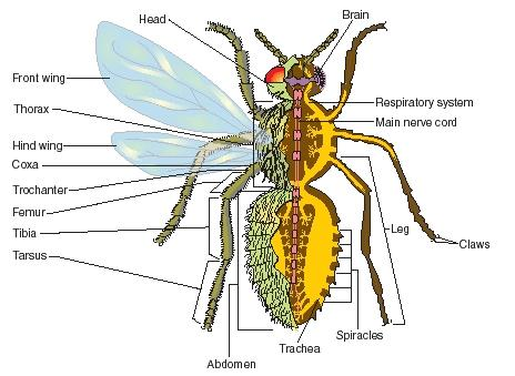 External and internal features of a generalized insect. (Reproduced by permission of The Gale Group.)
