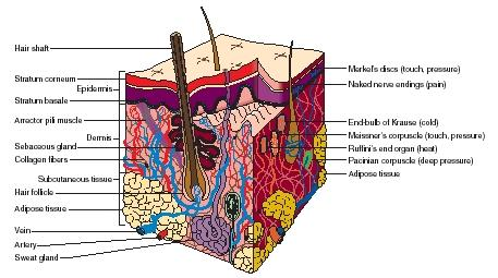 A cross section of the skin. Structures used for sensing are labeled on the right. (Reproduced by permission of The Gale Group.)