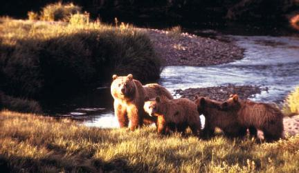 A grizzly bear and three cubs in Yellowstone National Park in Wyoming. The bear is considered a threatened species in the lower 48 states. (Reproduced by permission of National Parks Service.)
