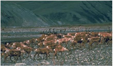 Caribou in the Arctic National Wildlife Refuge. Some caribou migrate more than 600 miles (965 kilo-meters) to spend the winter in forests. (Reproduced by permission of the U.S. Fish and Wildlife Service.)