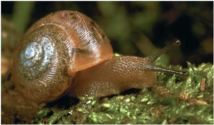 A land snail. (Reproduced by permission of JLM Visuals.)