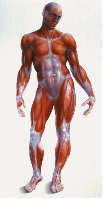 Human skeletal muscles (anterior view). (Reproduced by permission of Photo Researchers, Inc.)