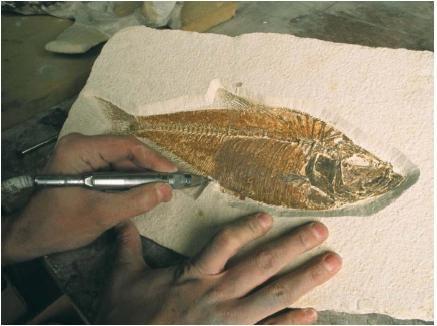Nautical fossils are examined in much the same way as fossils found on dry land. (Reproduced by permission of The Corbis Corporation [Bellevue].)