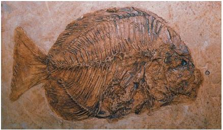 This fossilized spadefish is over 50 million years old. (Reproduced by permission of The Corbis Corporation [Bellevue].)