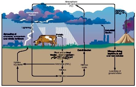 The nitrogen cycle. (Reproduced by permission of The Gale Group.)