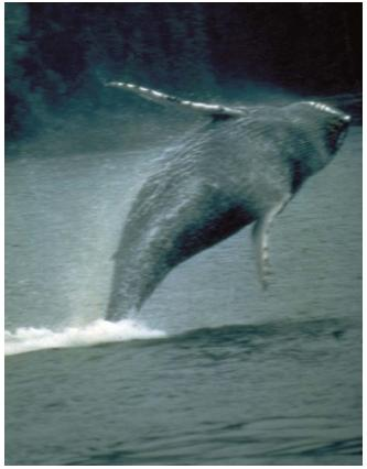 Humpback whales subsist on some of the smallest ocean creatures: tiny oceanic plankton, or krill. (Reproduced by permission of the U.S. Fish and Wildlife Service.)