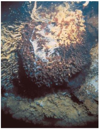 This hydrothermal vent on the southern Juan de Fuca Ridge is home to a colony of tube worms. (Reproduced by permission of U.S. Geological Survey Photographic Library.)