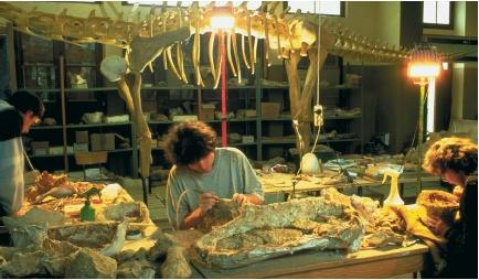 Researchers cleaning dinosaur fossils in a paleontology laboratory in Esperanza, France. The fossils arrive encased in a protective plaster cast and with some of the surrounding rock still attatched. They are cleaned thoroughly and treated with stabilizing chemicals before being studied or classified. (Reproduced by permission of Photo Researchers, Inc.)