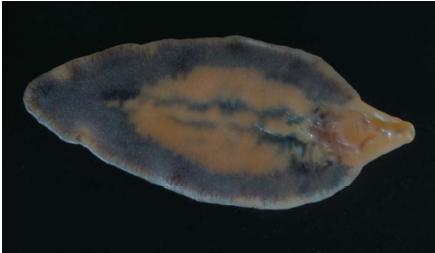 A liver fluke seen from above. There are more than 6,000 species of parasitic flatworms. (Reproduced by permission of JLM Visuals.)