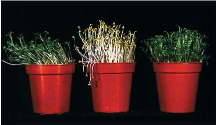 Plants respond to the direction and amount of light they receive. The seedlings on the left grew toward the light it received on only one side. The plant in the center received no light. The plant on the right was grown in normal, all-around light. (Reproduced by permission of Photo Researchers, Inc.)