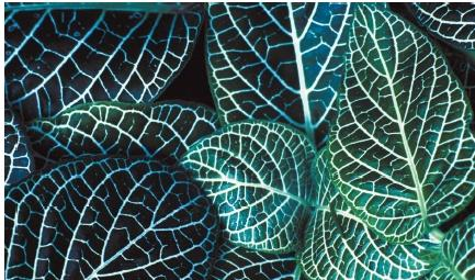 Leaves of a nerve plant (Fittonia verschaffeltii). (Reproduced by permission of Field Mark Publications.)