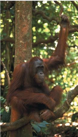 An orangutan in Borneo, Indonesia. (Reproduced by permission of Photo Researchers, Inc.)