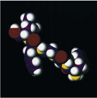 Computer graphic representation of a molecule of enkaphalin, a small protein molecule made up of five peptides, produced naturally in the human brain and by nerve endings elsewhere in the body. Enkephalin has a painkilling effect, and is thought to affect mood and stimulate motivation. (Reproduced by permission of Photo Researchers, Inc.)