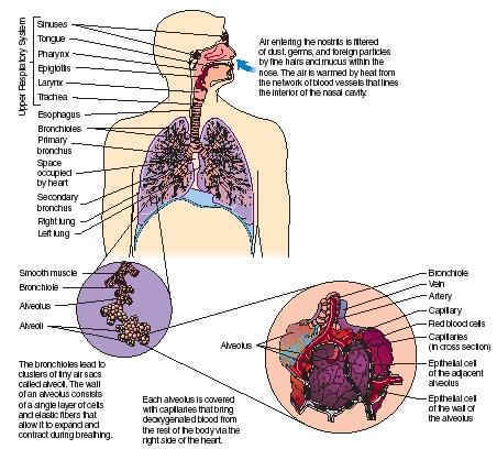 The human respiratory system reproduced by permission of the gale