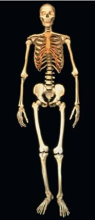 A frontal view of the human skeleton. (Reproduced by permission of Photo Researchers, Inc.)