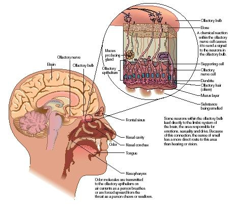 The process by which olfactory information is transmitted to the brain. (Reproduced by permission of The Gale Group.)
