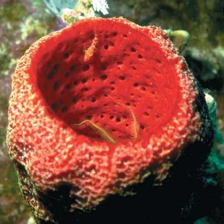 A vase sponge with a small blenny swimming in it and a brittle star living in it. (Reproduced by permission of Photo Researchers, Inc.)