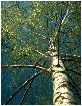 A birch tree. (Reproduced by permission of Photo Researchers, Inc.)