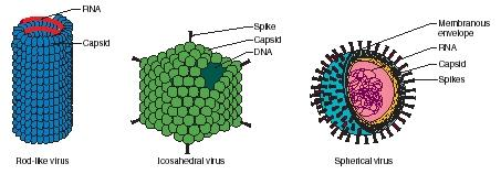 Figure 1. The three forms of viruses. Viruses are shaped either like rods or spheres or have twenty sides (are icosahedral). (Reproduced by permission of The Gale Group.)