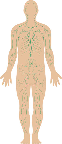 Lymphatic System - body, used, water, process, type, form, cells ...